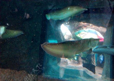 金龙鱼图片