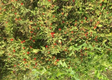 野草莓野树莓十月泡二月泡图片