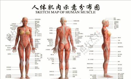 人体肌肉示意分布图图片