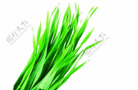 大麦草韭菜免抠透明素材图片