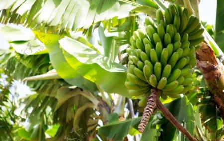 香蕉树上的香蕉图片