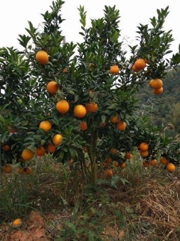 脐橙树图片