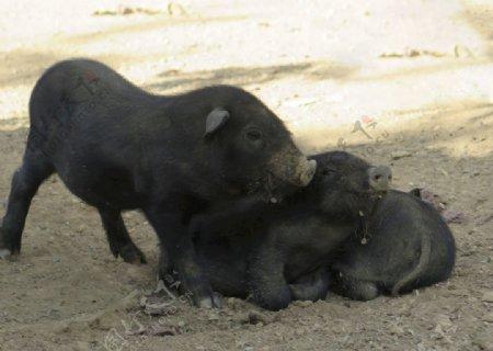 小猪仔猪图片