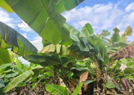 香蕉林果园水果图片
